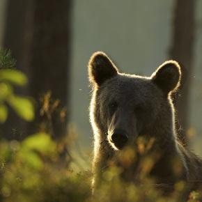 À la rencontre de l'ours brun